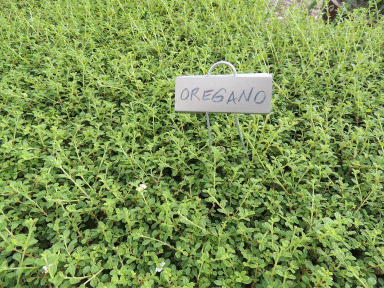 oregano-plant